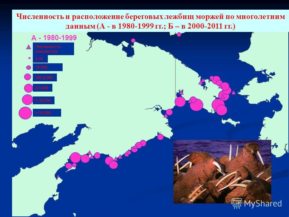 А - 1980-1999 2-10 > 10,000 5-10,000 2-5,000 10-500 500-2,000 Численность неизвестна Численность и расположение береговых лежбищ моржей по многолетним данным (А - в 1980-1999 гг.; Б – в 2000-2011 гг.)