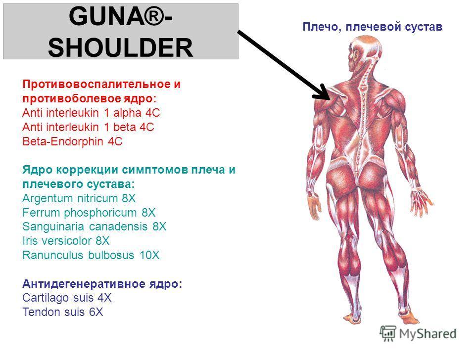 GUNA®- SHOULDER Противовоспалительное и противоболевое ядро: Anti interleukin 1 alpha 4C Anti interleukin 1 beta 4C Beta-Endorphin 4C Ядро коррекции симптомов плеча и плечевого сустава: Argentum nitricum 8X Ferrum phosphoricum 8X Sanguinaria canadens