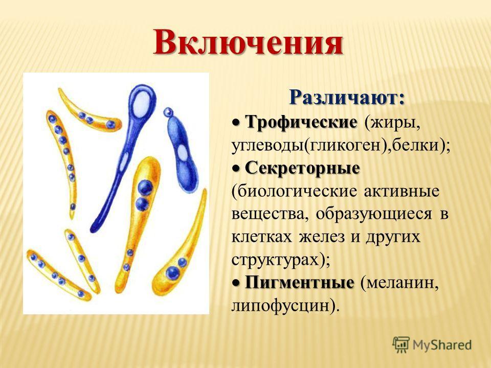 Включения Различают: Трофические Трофические (жиры, углеводы(гликоген),белки); Секреторные Секреторные (биологические активные вещества, образующиеся в клетках желез и других структурах); Пигментные Пигментные (меланин, липофусцин).