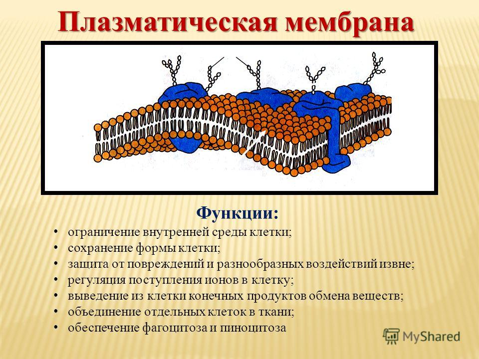 Функции: ограничение внутренней среды клетки; сохранение формы клетки; защита от повреждений и разнообразных воздействий извне; регуляция поступления ионов в клетку; выведение из клетки конечных продуктов обмена веществ; объединение отдельных клеток