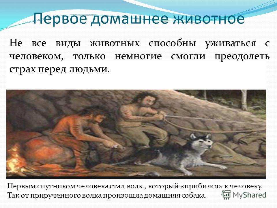 Первое домашнее животное Первым спутником человека стал волк, который «прибился» к человеку. Так от прирученного волка произошла домашняя собака. Не все виды животных способны уживаться с человеком, только немногие смогли преодолеть страх перед людьм