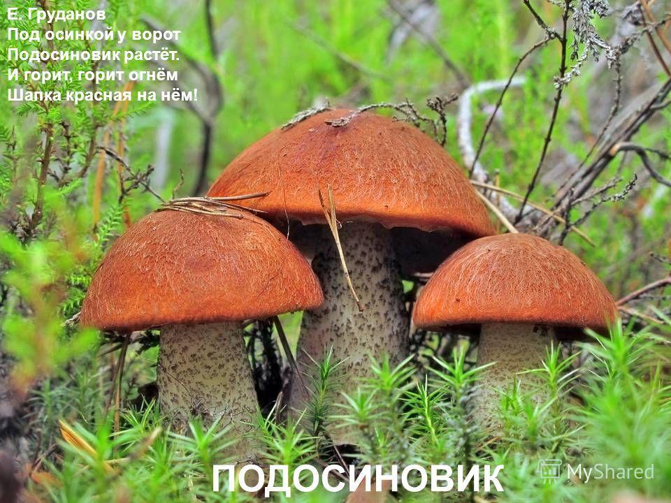 Е. Груданов Под осинкой у ворот Подосиновик растёт. И горит, горит огнём Шапка красная на нём! ПОДОСИНОВИК