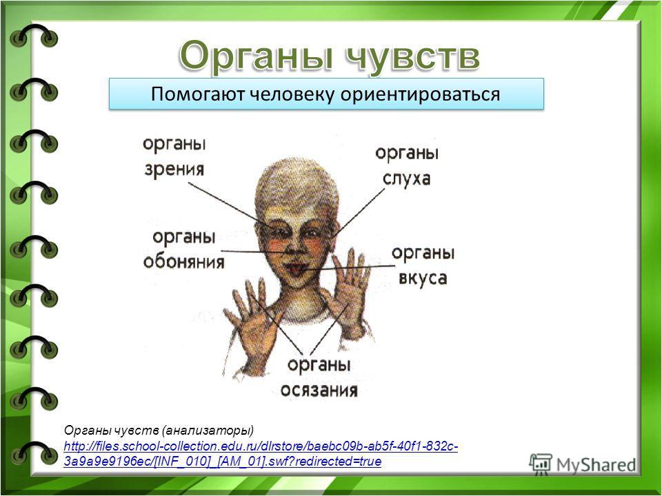 Помогают человеку ориентироваться Органы чувств (анализаторы) http://files.school-collection.edu.ru/dlrstore/baebc09b-ab5f-40f1-832c- 3a9a9e9196ec/[INF_010]_[AM_01].swf?redirected=true