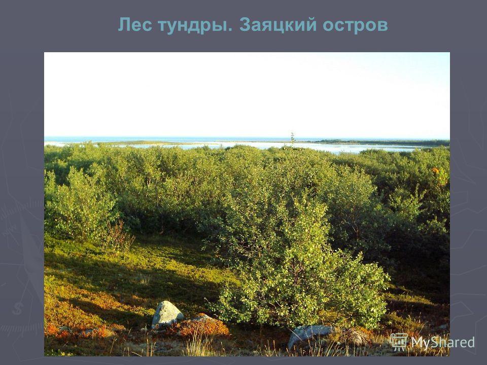Лес тундры. Заяцкий остров