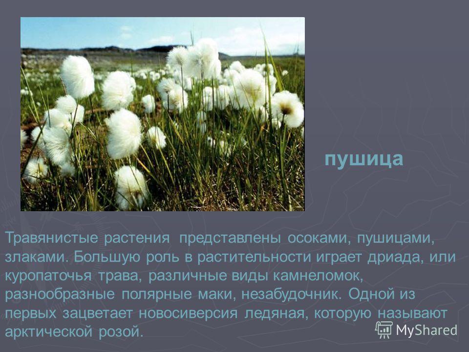 Травянистые растения представлены осоками, пушицами, злаками. Большую роль в растительности играет дриада, или куропаточья трава, различные виды камнеломок, разнообразные полярные маки, незабудочник. Одной из первых зацветает новосиверсия ледяная, ко