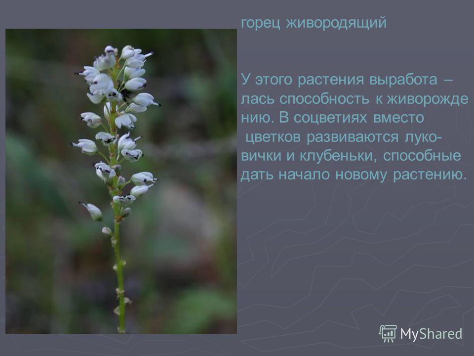 горец живородящий У этого растения выработа – лась способность к живорожде - нию. В соцветиях вместо цветков развиваются луко- вички и клубеньки, способные дать начало новому растению.