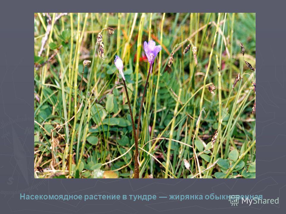 Насекомоядное растение в тундре жирянка обыкновенная