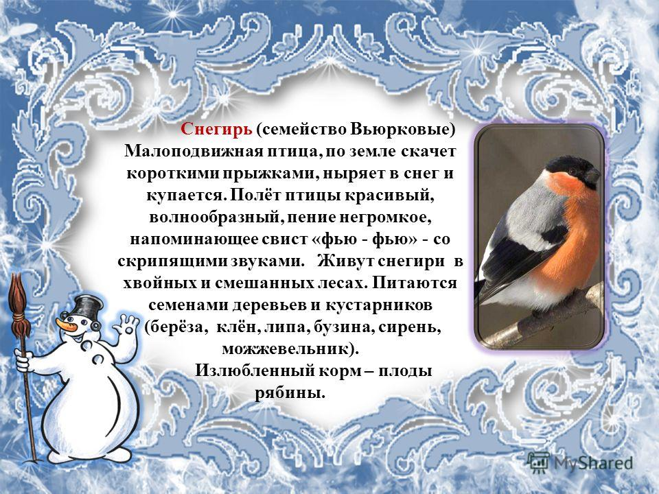 Снегирь (семейство Вьюрковые) Малоподвижная птица, по земле скачет короткими прыжками, ныряет в снег и купается. Полёт птицы красивый, волнообразный, пение негромкое, напоминающее свист «фью - фью» - со скрипящими звуками. Живут снегири в хвойных и с