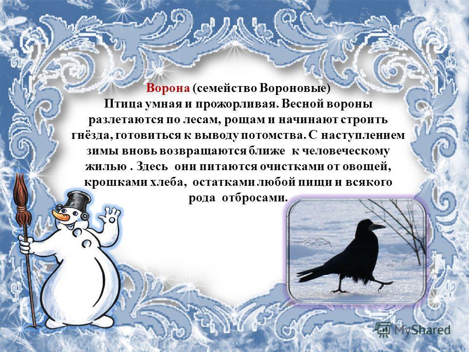Ворона (семейство Вороновые) Птица умная и прожорливая. Весной вороны разлетаются по лесам, рощам и начинают строить гнёзда, готовиться к выводу потомства. С наступлением зимы вновь возвращаются ближе к человеческому жилью. Здесь они питаются очистка