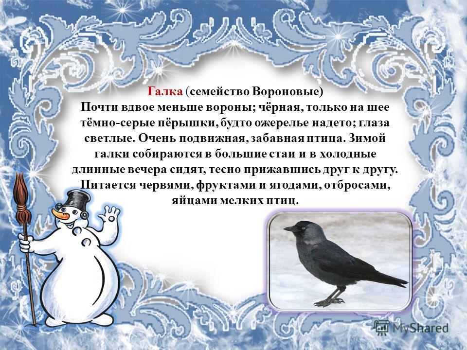 Галка (семейство Вороновые) Почти вдвое меньше вороны; чёрная, только на шее тёмно-серые пёрышки, будто ожерелье надето; глаза светлые. Очень подвижная, забавная птица. Зимой галки собираются в большие стаи и в холодные длинные вечера сидят, тесно пр