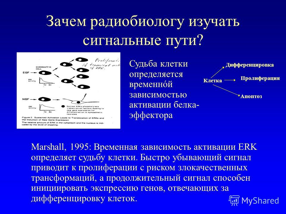 Зачем радиобиологу изучать сигнальные пути? Судьба клетки определяется временнóй зависимостью активации белка- эффектора Marshall, 1995: Временная зависимость активации ERK определяет судьбу клетки. Быстро убывающий сигнал приводит к пролиферации с р