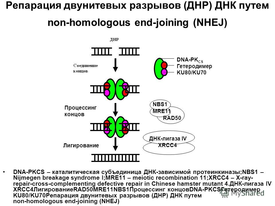 Репарация двунитевых разрывов (ДНР) ДНК путем non-homologous end-joining (NHEJ) DNA-PKCS – каталитическая субъединица ДНК-зависимой протеинкиназы;NBS1 – Nijmegen breakage syndrome I;MRE11 – meiotic recombination 11;XRCC4 – X-ray- repair-cross-complem