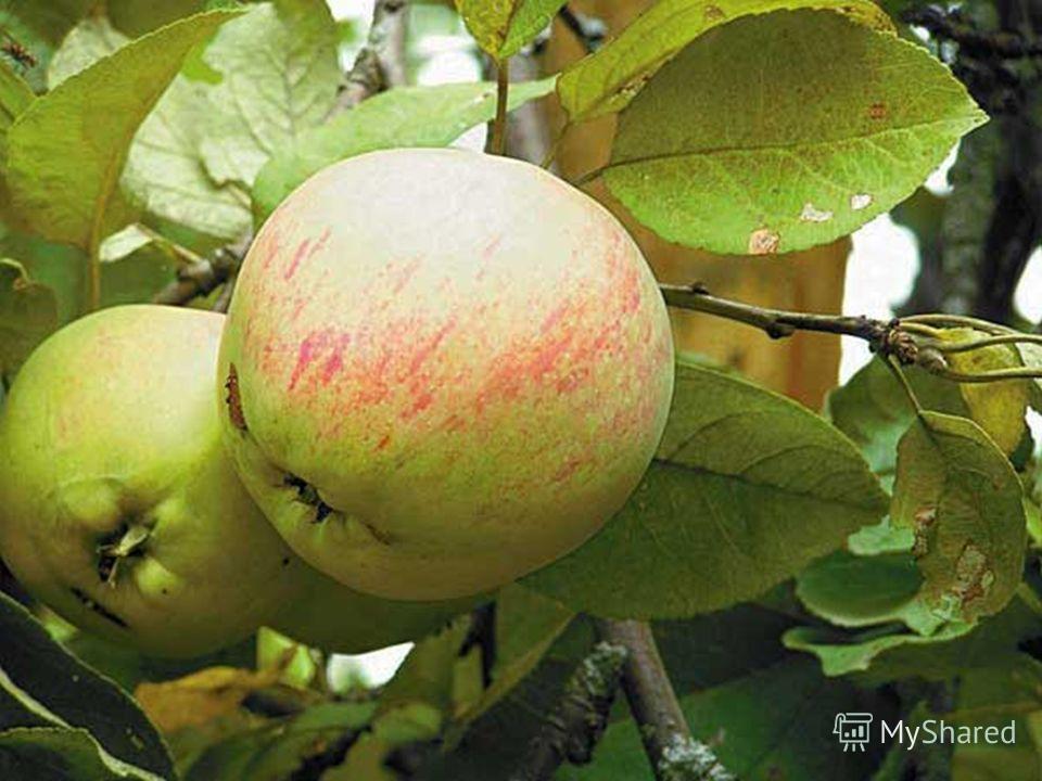 6) Решение задачи. Росли в Кощеевом саду золотые и серебряные яблоки. Всего 20. Кощей сорвал – 9 яблок. Сколько осталось молодильных яблок?