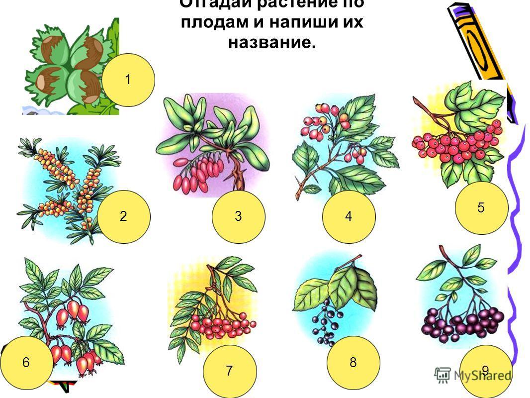 Отгадай растение по плодам и напиши их название. 1 234 5 6 7 8 9