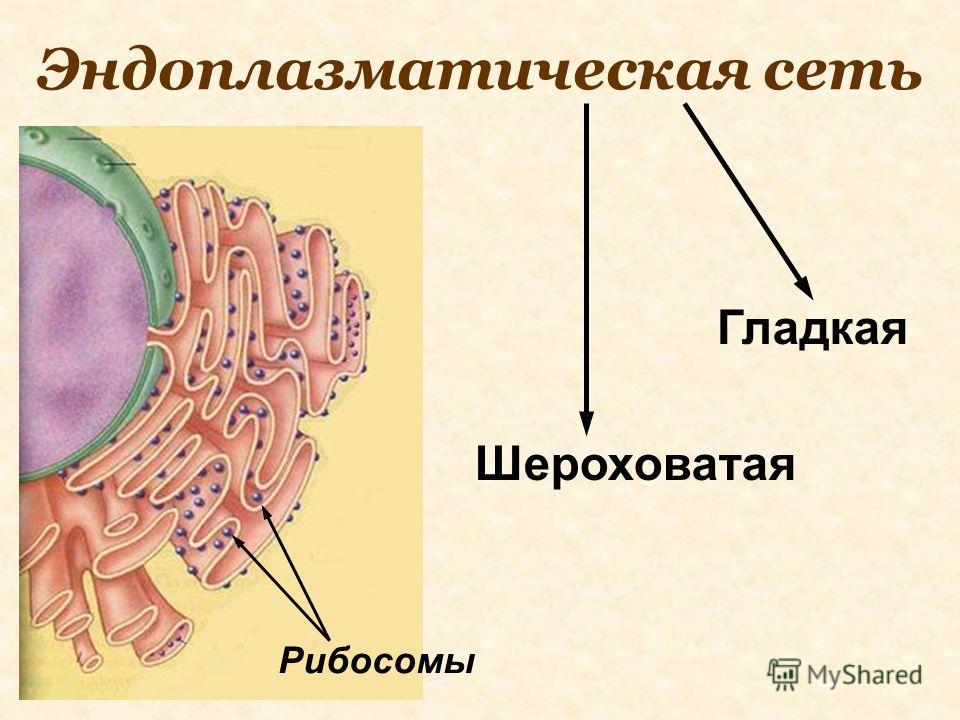 Эндоплазматическая сеть Рибосомы Гладкая Шероховатая