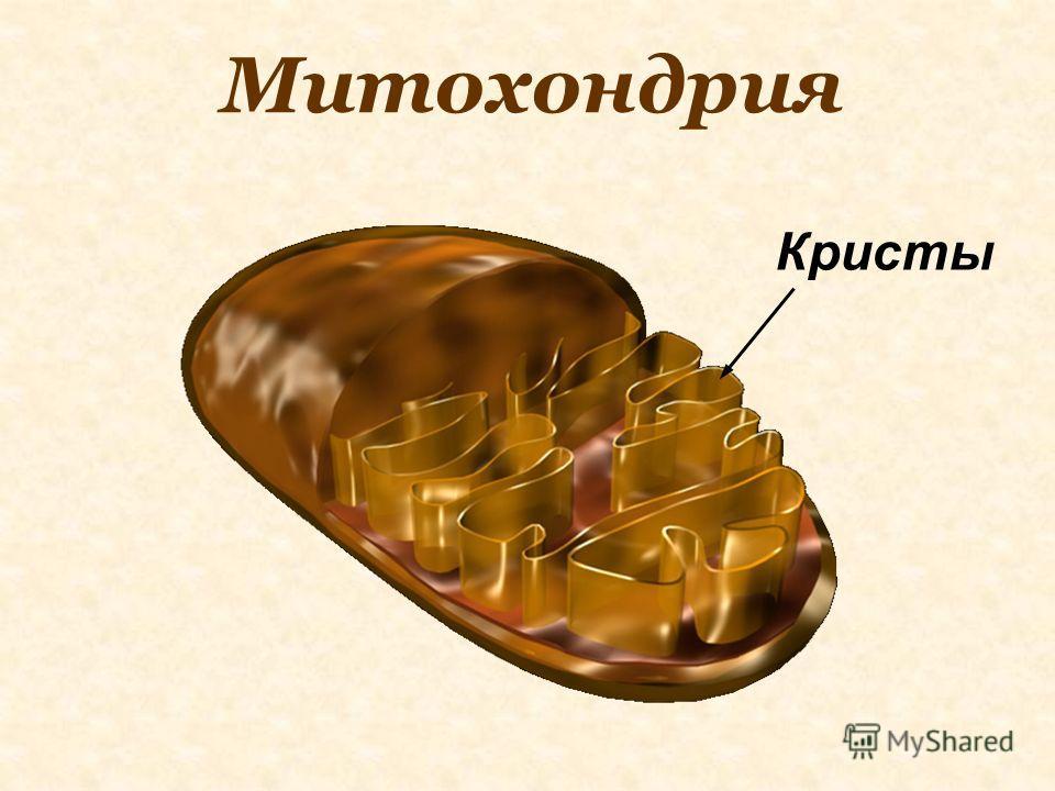 Митохондрия Кристы