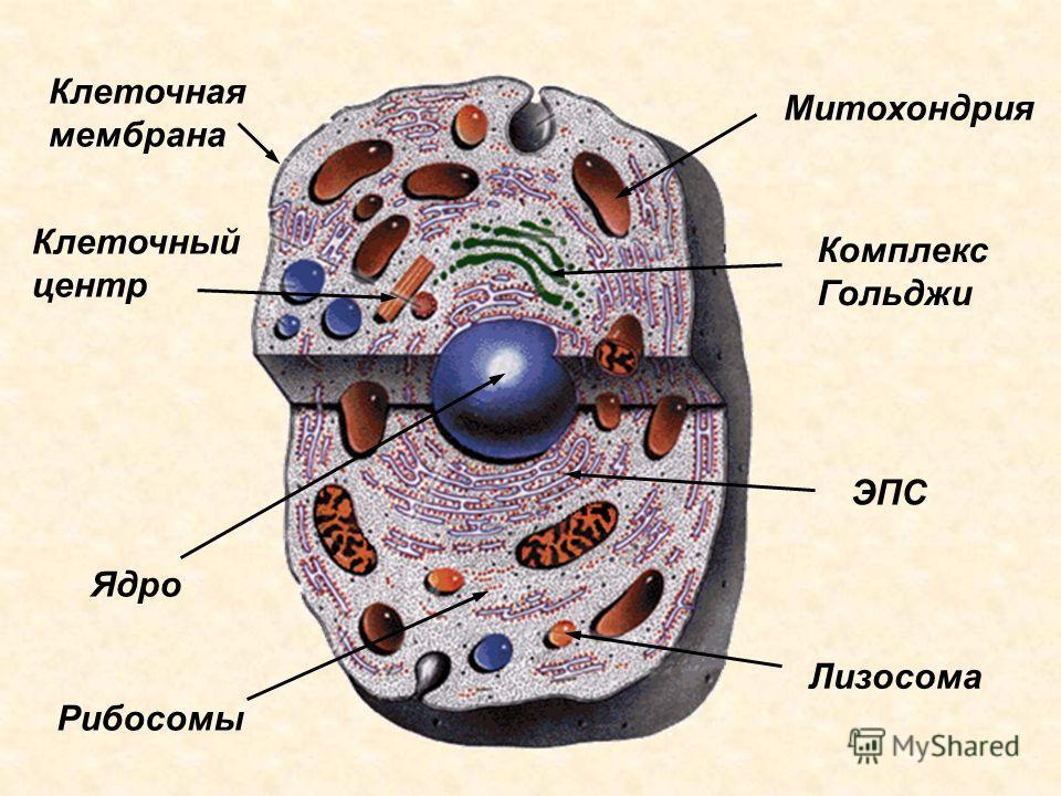 Клеточный центр Митохондрия Ядро Комплекс Гольджи ЭПС Лизосома Рибосомы Клеточная мембрана