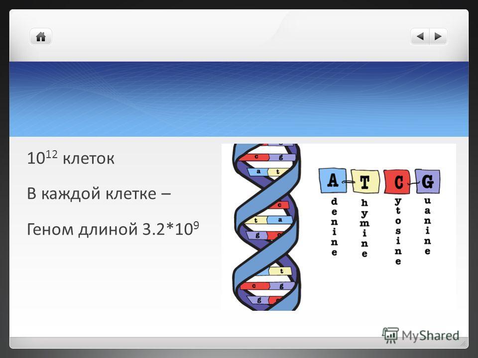 10 12 клеток В каждой клетке – Геном длиной 3.2*10 9