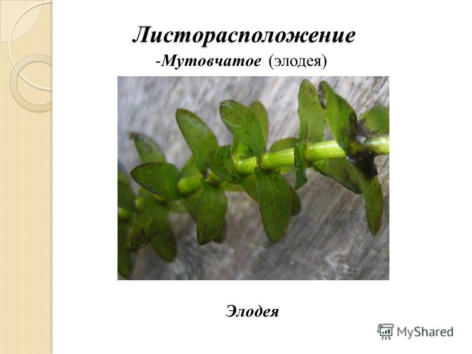 Листорасположение -Мутовчатое (элодея) Элодея