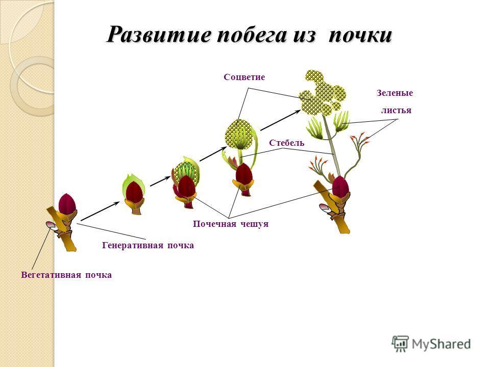 Развитие побега из почки Зеленые листья Стебель Соцветие Почечная чешуя Генеративная почка Вегетативная почка