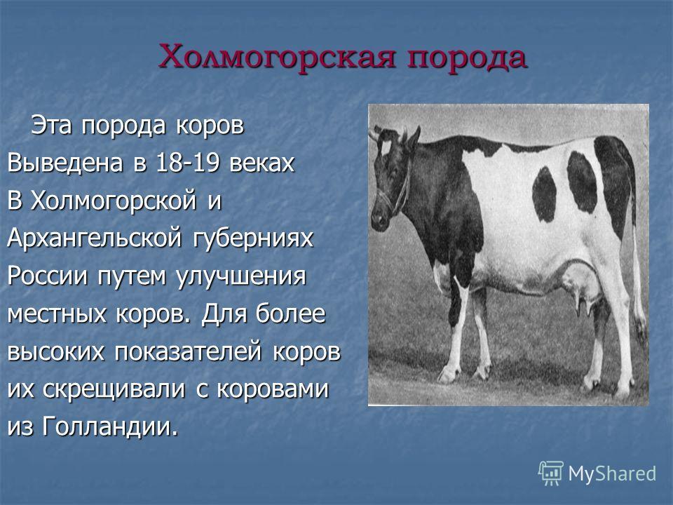 Холмогорская порода Эта порода коров Эта порода коров Выведена в 18-19 веках В Холмогорской и Архангельской губерниях России путем улучшения местных коров. Для более высоких показателей коров их скрещивали с коровами из Голландии.