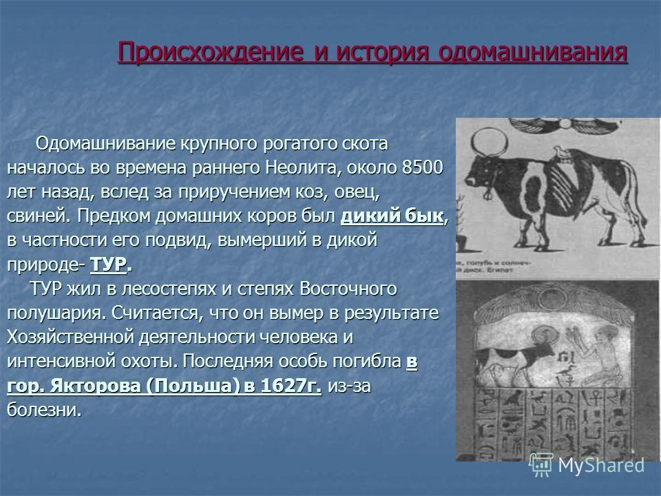 Происхождение и история одомашнивания Происхождение и история одомашнивания Одомашнивание крупного рогатого скота Одомашнивание крупного рогатого скота началось во времена раннего Неолита, около 8500 лет назад, вслед за приручением коз, овец, свиней.