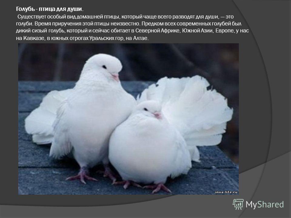 Голубь - птица для души. Существует особый вид домашней птицы, который чаще всего разводят для души, это голуби. Время приручения этой птицы неизвестно. Предком всех современных голубей был дикий сизый голубь, который и сейчас обитает в Северной Афри