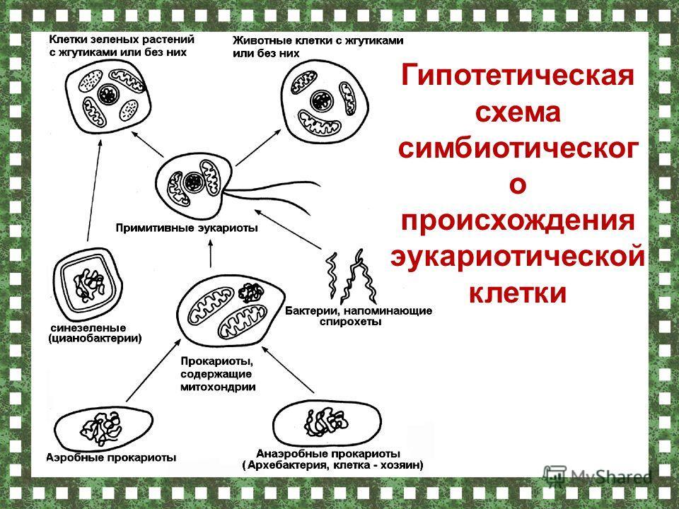 Гипотетическая схема симбиотическог о происхождения эукариотической клетки