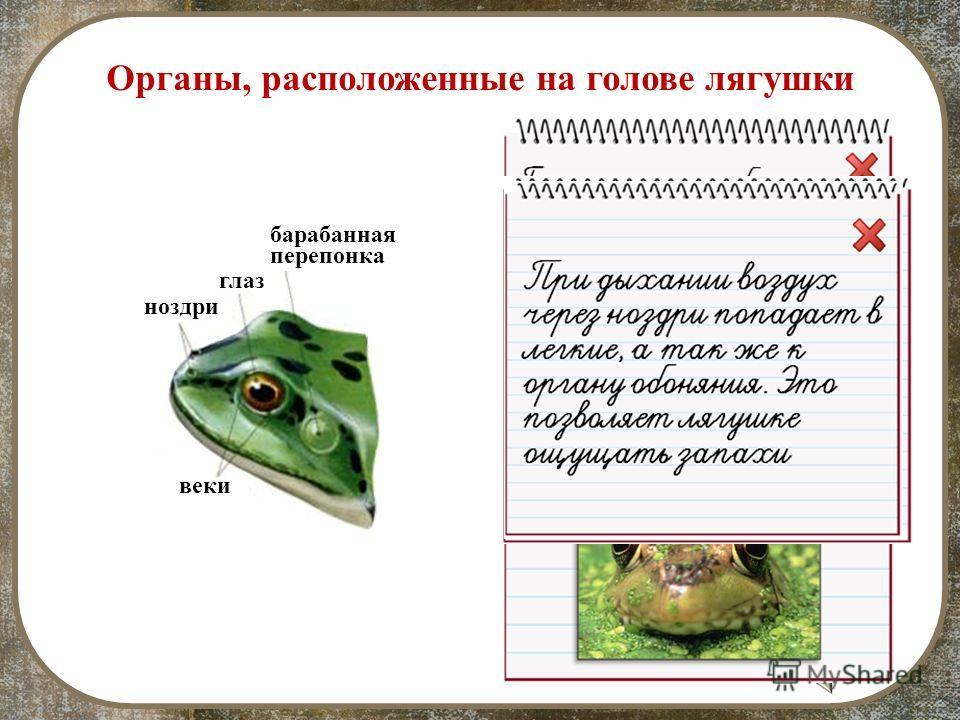 барабанная перепонка Органы, расположенные на голове лягушки веки глаз ноздри