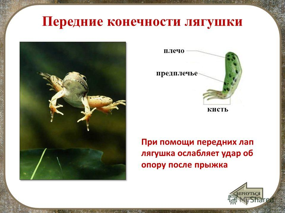 плечо Передние конечности лягушки предплечье кисть При помощи передних лап лягушка ослабляет удар об опору после прыжка