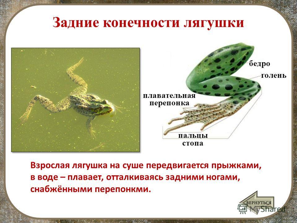 Задние конечности лягушки стопа Взрослая лягушка на суше передвигается прыжками, в воде – плавает, отталкиваясь задними ногами, снабжёнными перепонкми. пальцы плавательная перепонка голень бедро