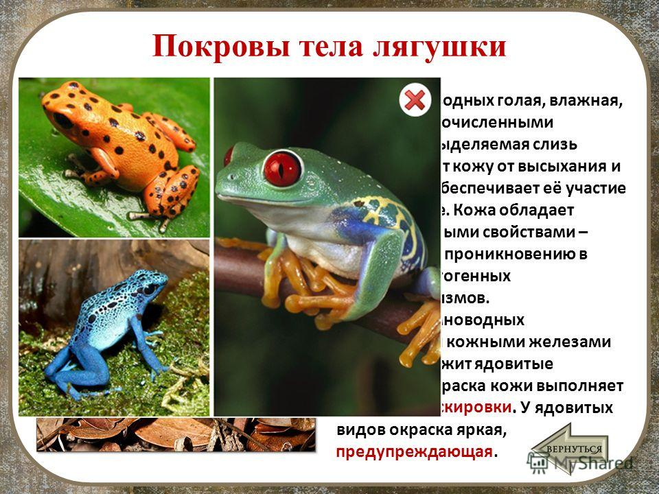 Покровы тела лягушки Кожа земноводных голая, влажная, богатая многочисленными железами. Выделяемая слизь предохраняет кожу от высыхания и тем самым обеспечивает её участие в газообмене. Кожа обладает бактерицидными свойствами – препятствует проникнов