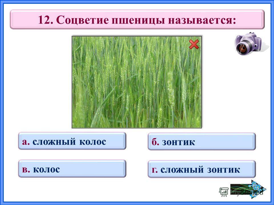 12. Соцветие пшеницы называется: в. колос б. зонтик г. сложный зонтик а. сложный колос