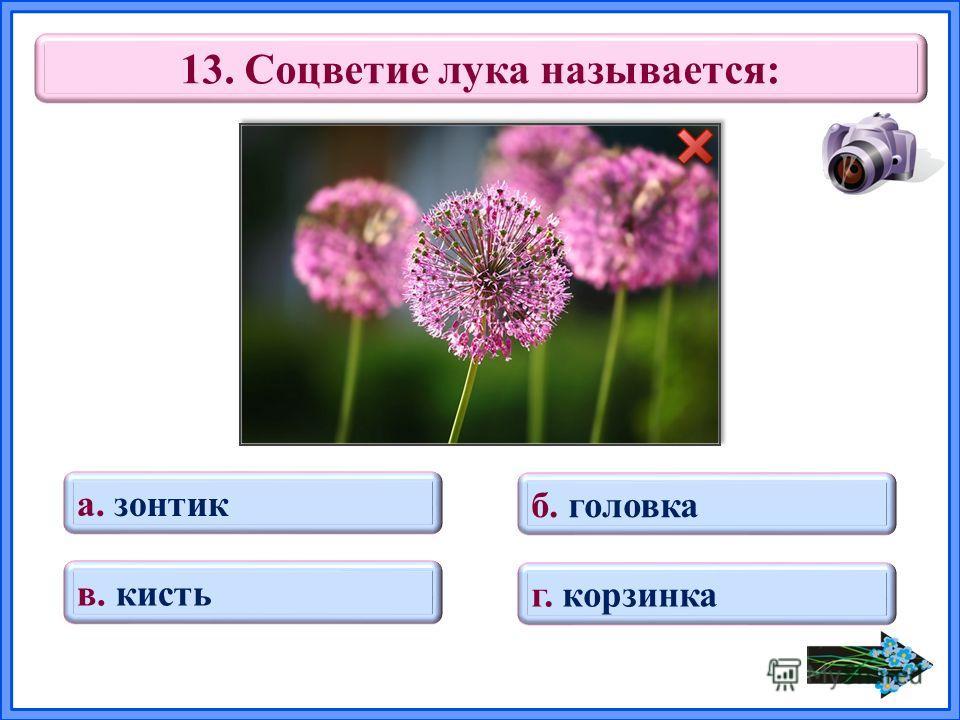 13. Соцветие лука называется: в. кисть б. головка г. корзинка а. зонтик