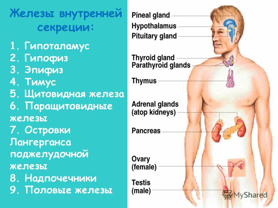 1. Гипоталамус 2. Гипофиз 3. Эпифиз 4. Тимус 5. Щитовидная железа 6. Паращитовидные железы 7. Островки Лангерганса поджелудочной железы 8. Надпочечники 9. Половые железы Железы внутренней секреции: