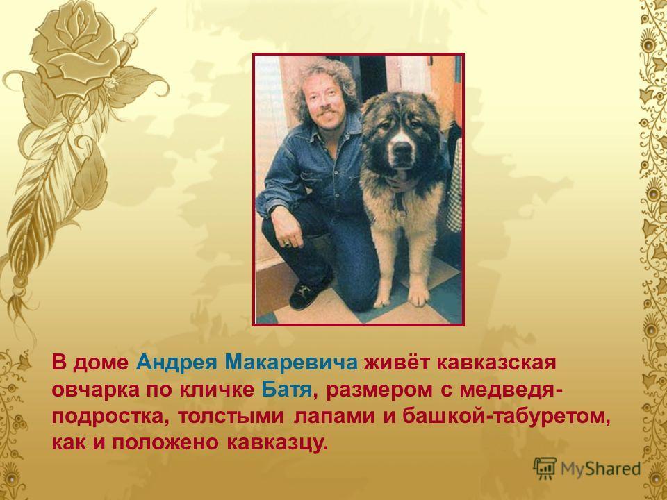 В доме Андрея Макаревича живёт кавказская овчарка по кличке Батя, размером с медведя- подростка, толстыми лапами и башкой-табуретом, как и положено кавказцу.