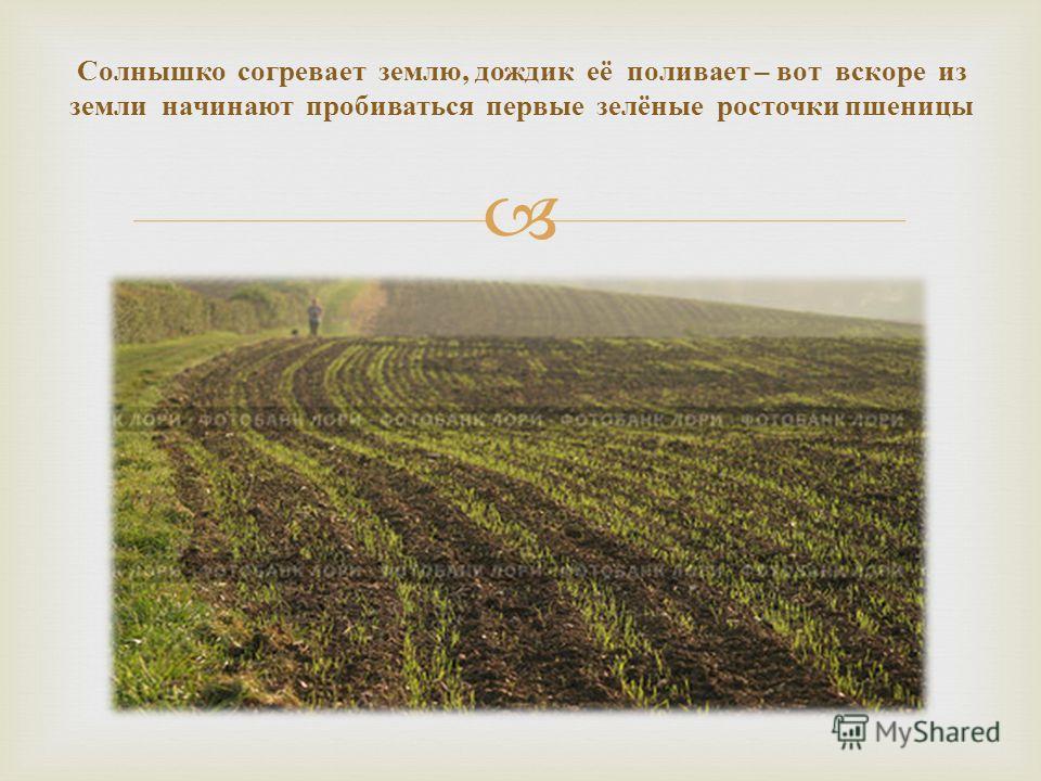 Солнышко согревает землю, дождик её поливает – вот вскоре из земли начинают пробиваться первые зелёные росточки пшеницы