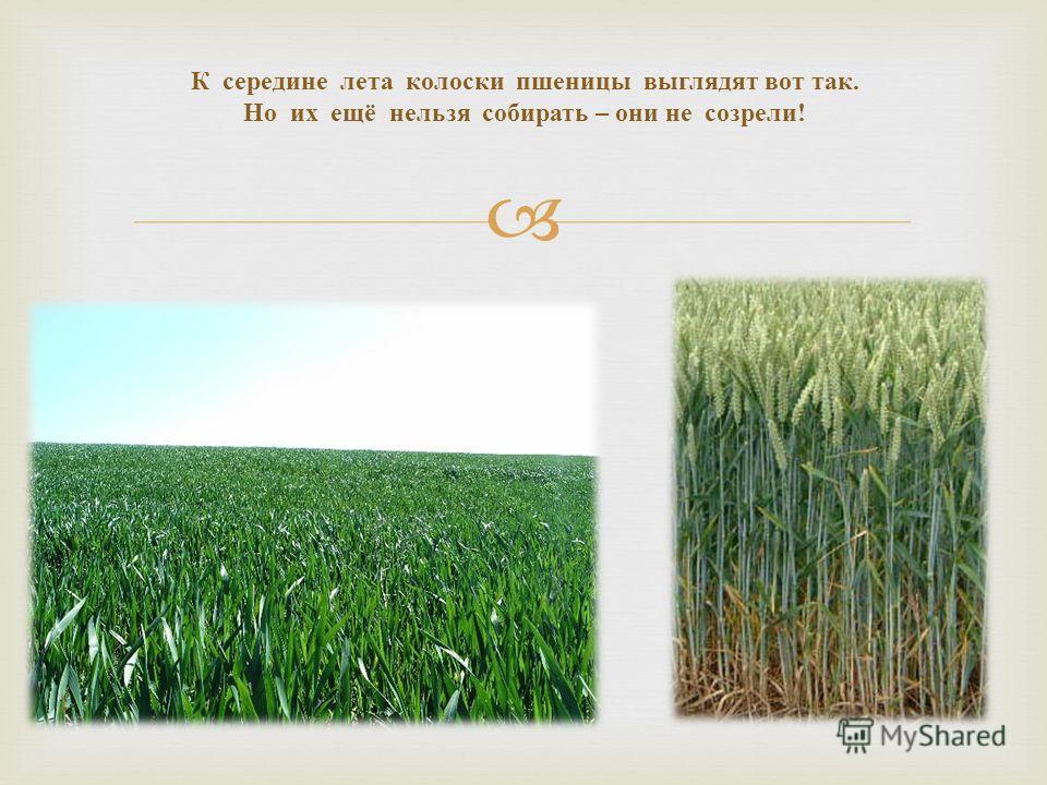 К середине лета колоски пшеницы выглядят вот так. Но их ещё нельзя собирать – они не созрели !