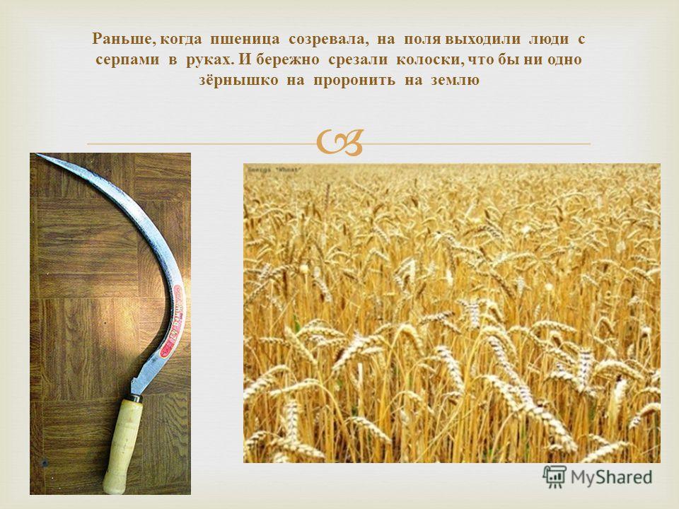 Раньше, когда пшеница созревала, на поля выходили люди с серпами в руках. И бережно срезали колоски, что бы ни одно зёрнышко на проронить на землю