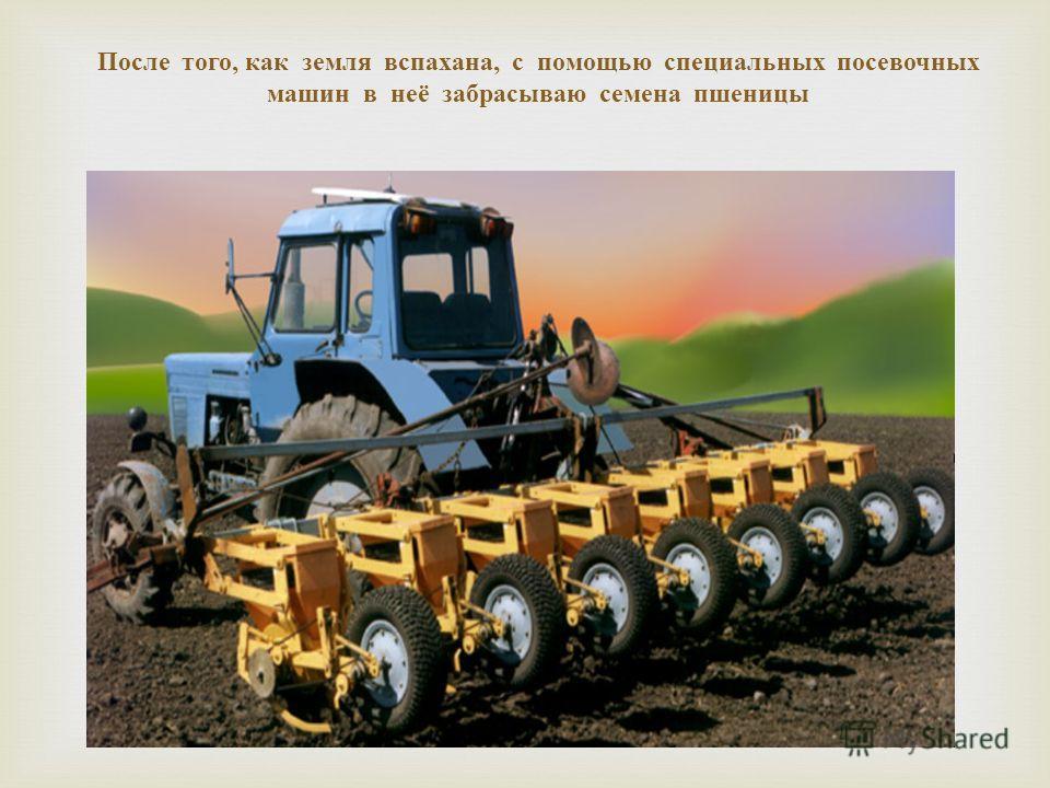 После того, как земля вспахана, с помощью специальных посевочных машин в неё забрасываю семена пшеницы