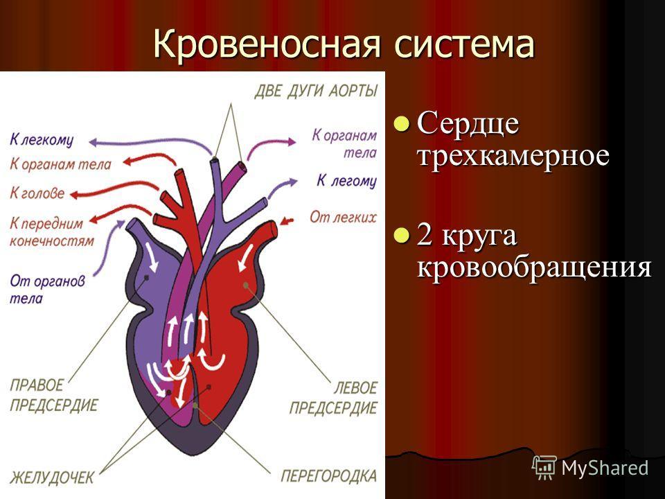 Кровеносная система Сердце трехкамерное Сердце трехкамерное 2 круга кровообращения 2 круга кровообращения