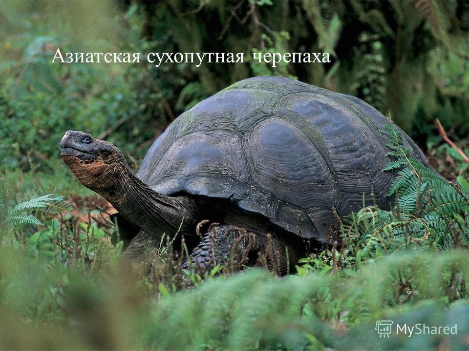 Азиатская сухопутная черепаха