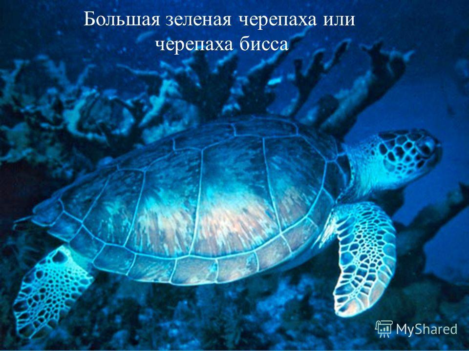 Большая зеленая черепаха или черепаха бисса