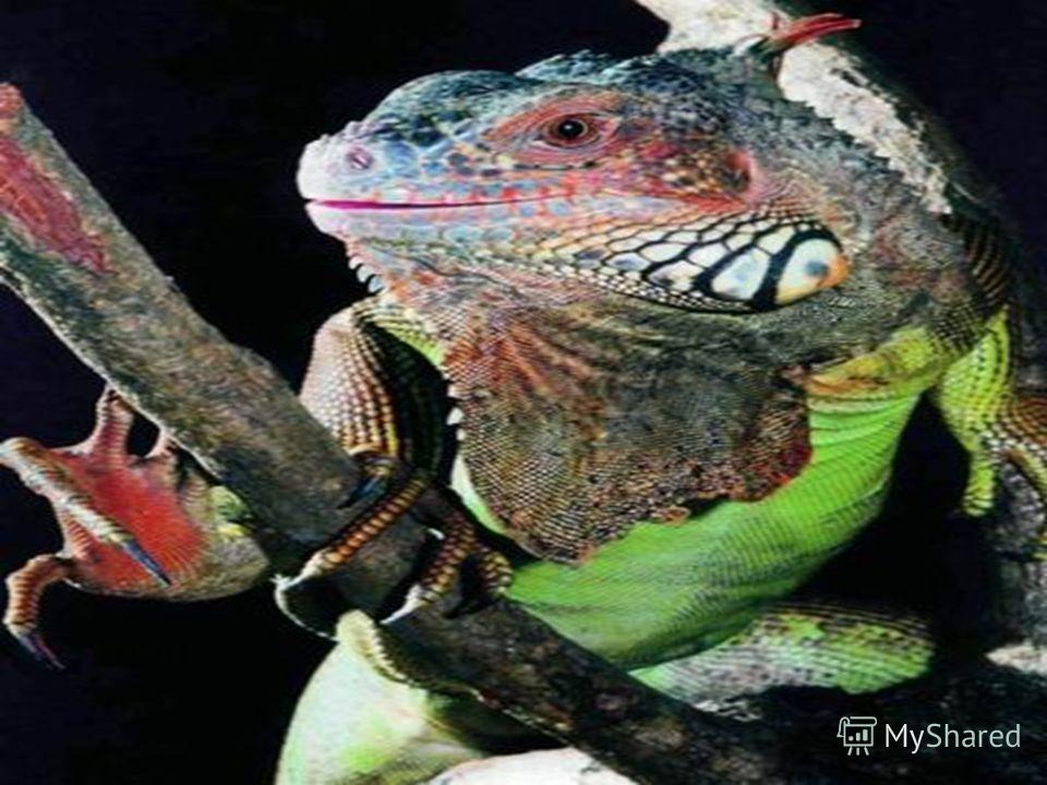 Серый азиатский варан – одна из самых крупных ящериц в мире Игуана