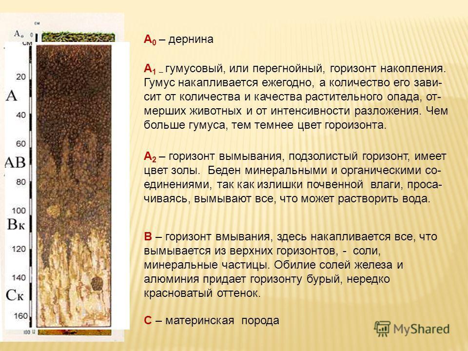 А 0 – дернина А 1 – гумусовый, или перегнойный, горизонт накопления. Гумус накапливается ежегодно, а количество его зави- сит от количества и качества растительного опада, от- мерших животных и от интенсивности разложения. Чем больше гумуса, тем темн