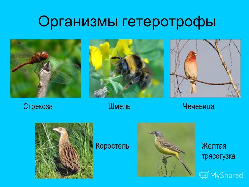 Организмы гетеротрофы СтрекозаШмельЧечевица КоростельЖелтая трясогузка