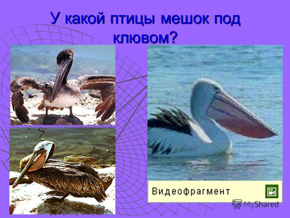 У какой птицы мешок под клювом?