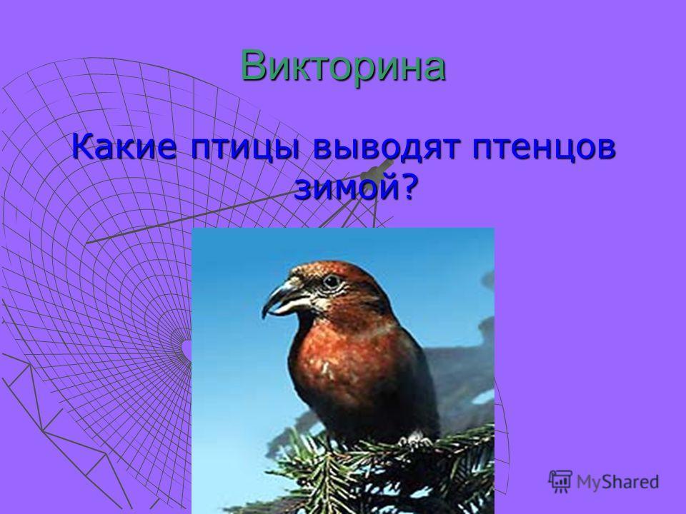 Викторина Какие птицы выводят птенцов зимой?