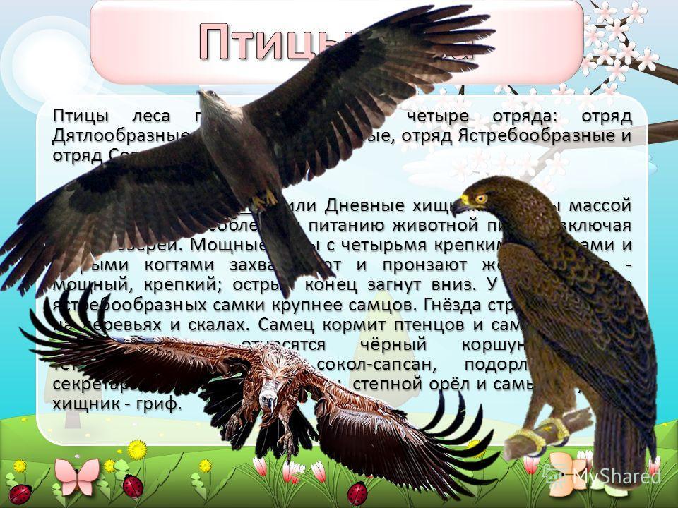 Птицы леса подразделяются на четыре отряда: отряд Дятлообразные, отряд Курообразные, отряд Ястребообразные и отряд Совообразные. Отряд Ястребообразные, или Дневные хищники. Птицы массой 0,1 - 6 кг, приспособлены к питанию животной пищей, включая птиц