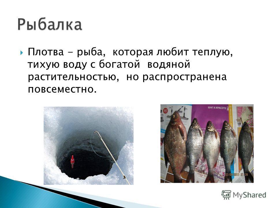 Плотва - рыба, которая любит теплую, тихую воду с богатой водяной растительностью, но распространена повсеместно.